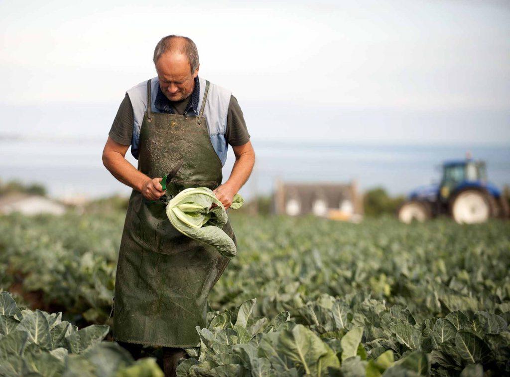 producteur de la coopérative légumière Sica en train de récolter