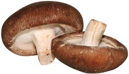 champignon shii-také cultivé par les producteurs de la sica
